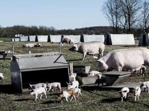 Prisbelønnet landbrug udvider: Vil skabe fremtidens stald til økologiske grise