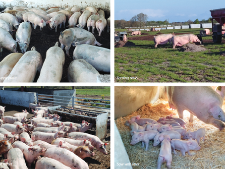 Organic Swine production in Denmark with Topigs Norsvin