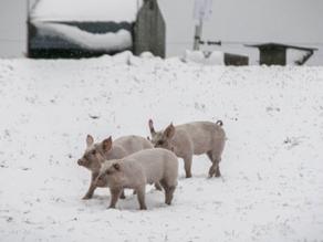 Vinteroplevelser på Give-egnen: Den glade julegris