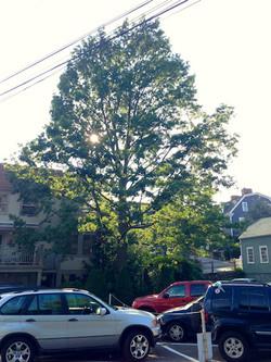 56' Red Oak