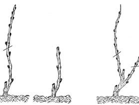 Как ухаживать за виноградом в 1-ый год посадки