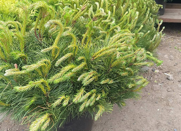 Сосна Мугус (Mugo var. Mughus или Pinus montana mughus)