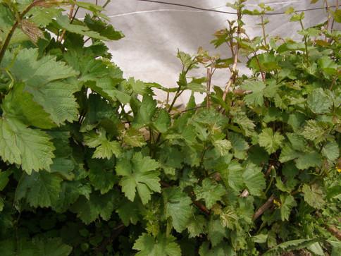 Так ли сложна обрезка винограда? Часть 2 Приёмы зелёной обрезки.