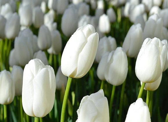 Тюльпан Richarda (10000 шт.)
