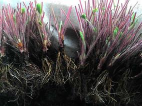 Безусая земляника: особенности размножения