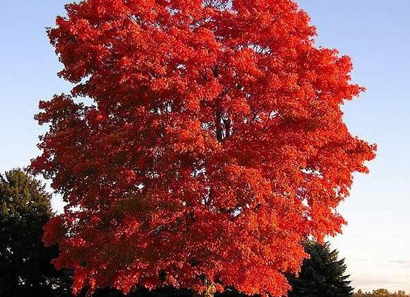 Дуб Quercus rubra