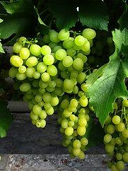Виноград (столовые сорта)