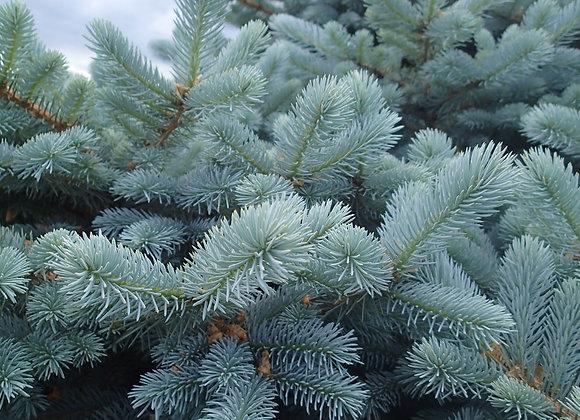 Ель сизая сибирская (Крупномер)