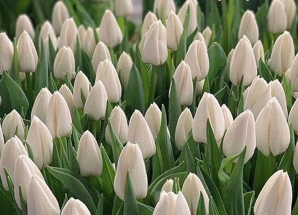 Тюльпан Update (20 тш.)