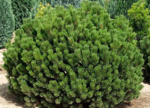 Сосна Горная Пумилио (Pinus mugo var. Pumilio)