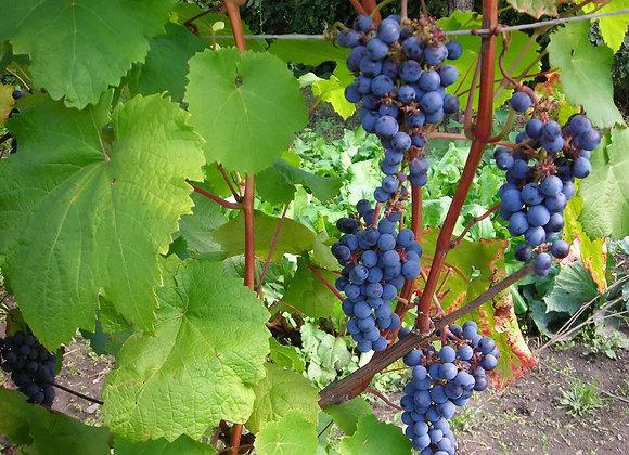 Виноград амурский саженцы купить в Красноярске