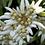 Thumbnail: Эдельвейс