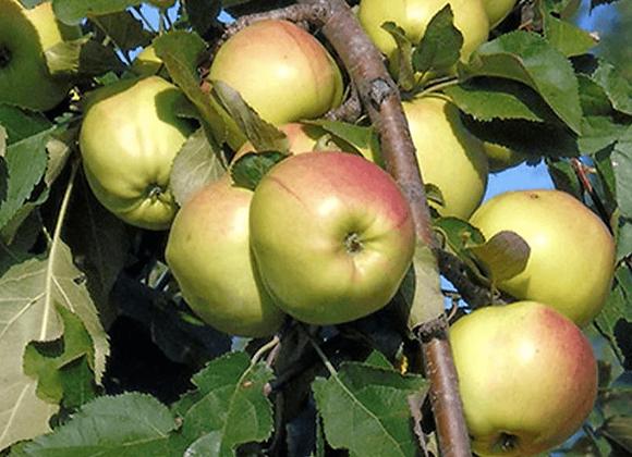 Яблоня Крупноплодная (Естественный карлик)