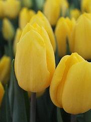Тюльпан Strong Gold (500 шт.)