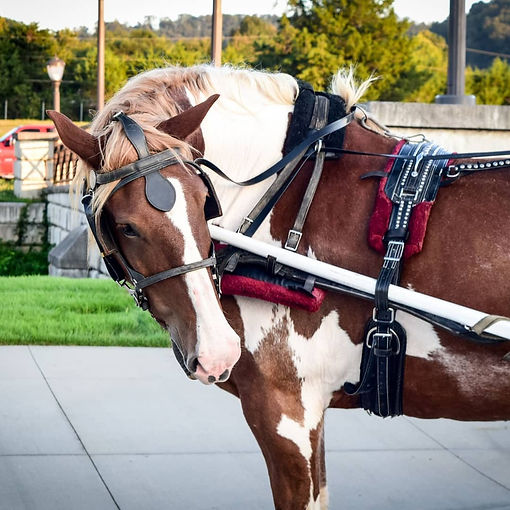 Meet Dewey. Dewey is what as known as a spotted draft horse. Dewey is known downtown for being the unique one. He is the only white and brown pinto coloredhorse downtown and makes for a beautiful wedding horse!