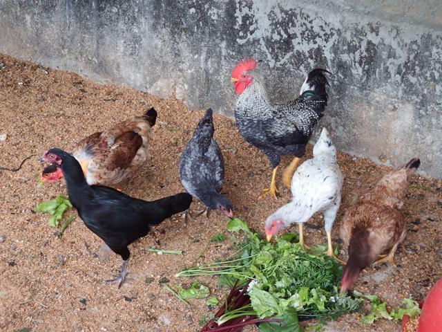galinhas_da_roça