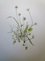 Parnassia palustris by Dorine Plantenga