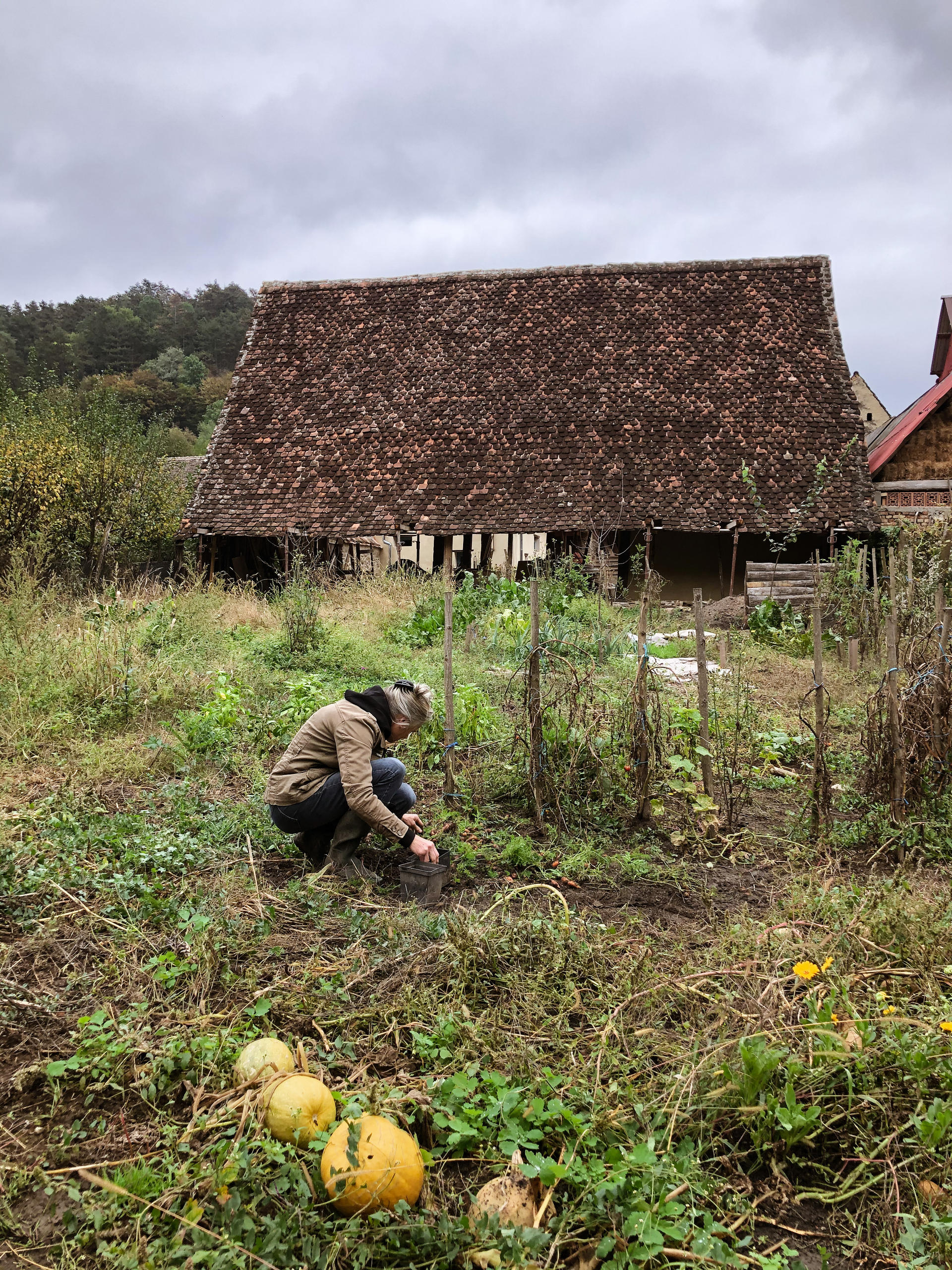 Rachel harvesting carrots in 142
