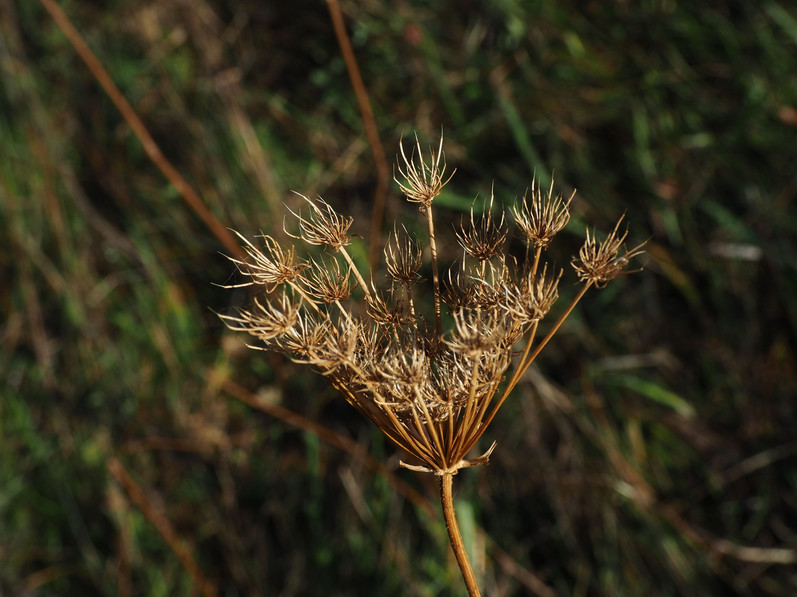 Queen Anne's laceor wild carrot