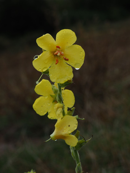 Verbascum, commonly known as Mullein