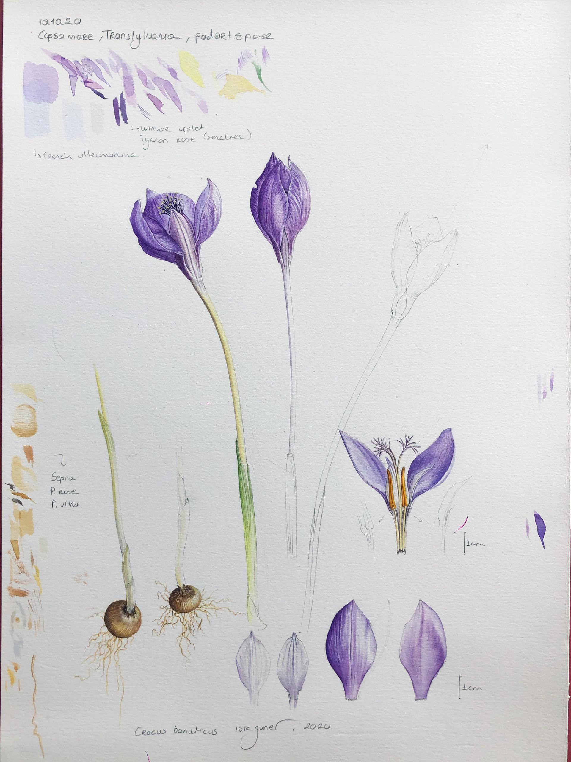 Full study of Crocus banaticus by Isik Guner, Oct 2020 Copsa Mare