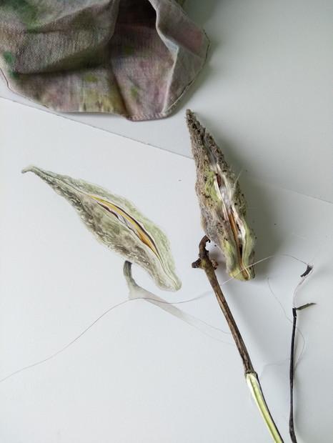 Julia's Milkweed pod