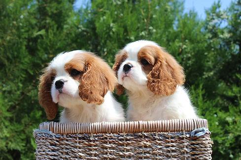 russian puppies.jpg