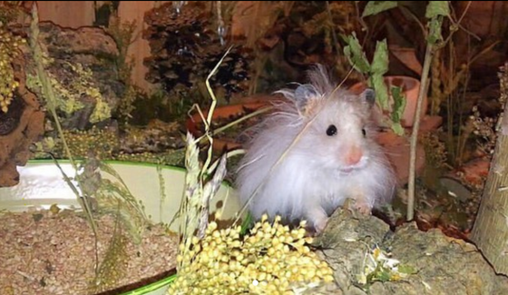 Choosing Where to Get Your Hamster: Adopting vs Shopping, and Problematic Hamster Mutations