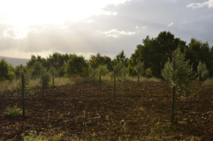 An olive orchard.