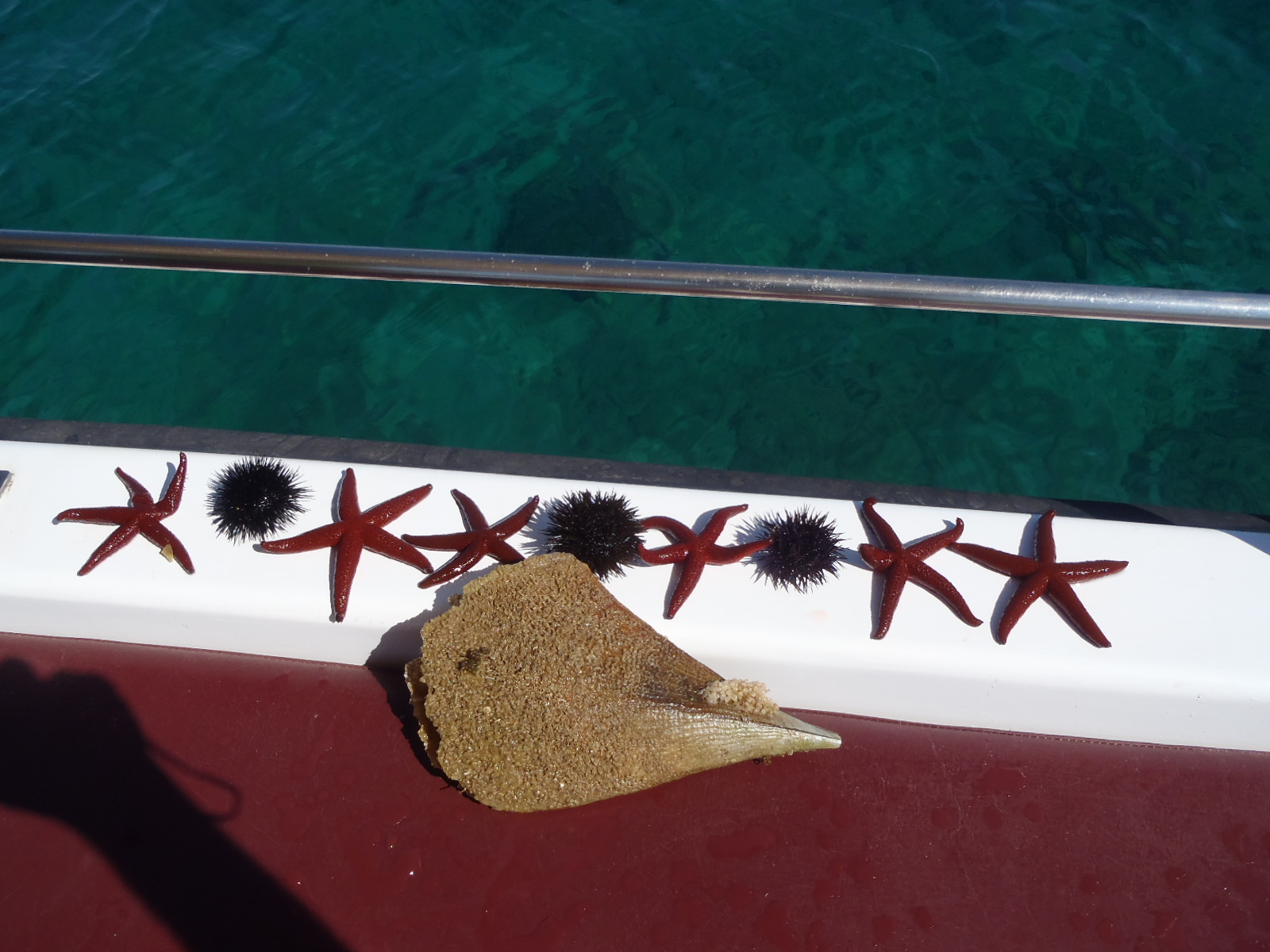 Starfish on Captain Nick's Boat
