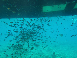 Fishing swimming under boat