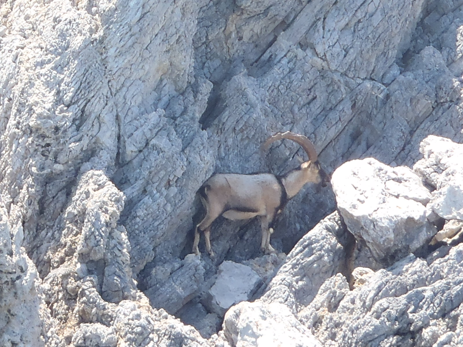 Ram on mountain