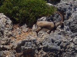 Ram climbing up mountain