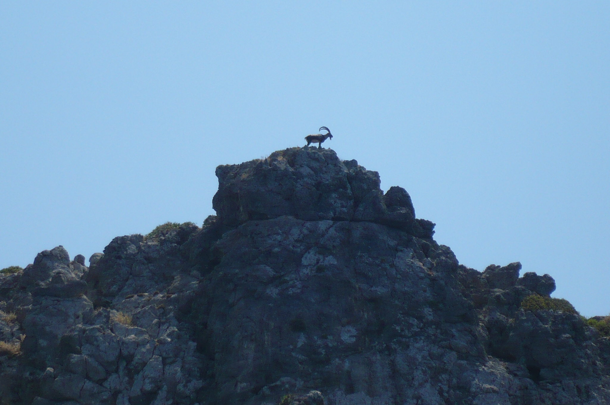 Ram at the top of the mountain