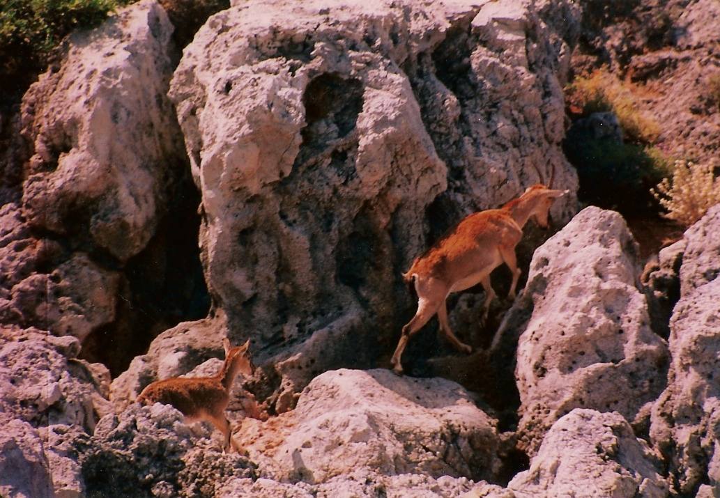 Deers climbing mountain