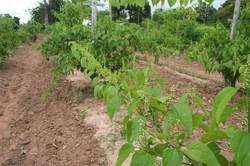Sacha Inchi vine