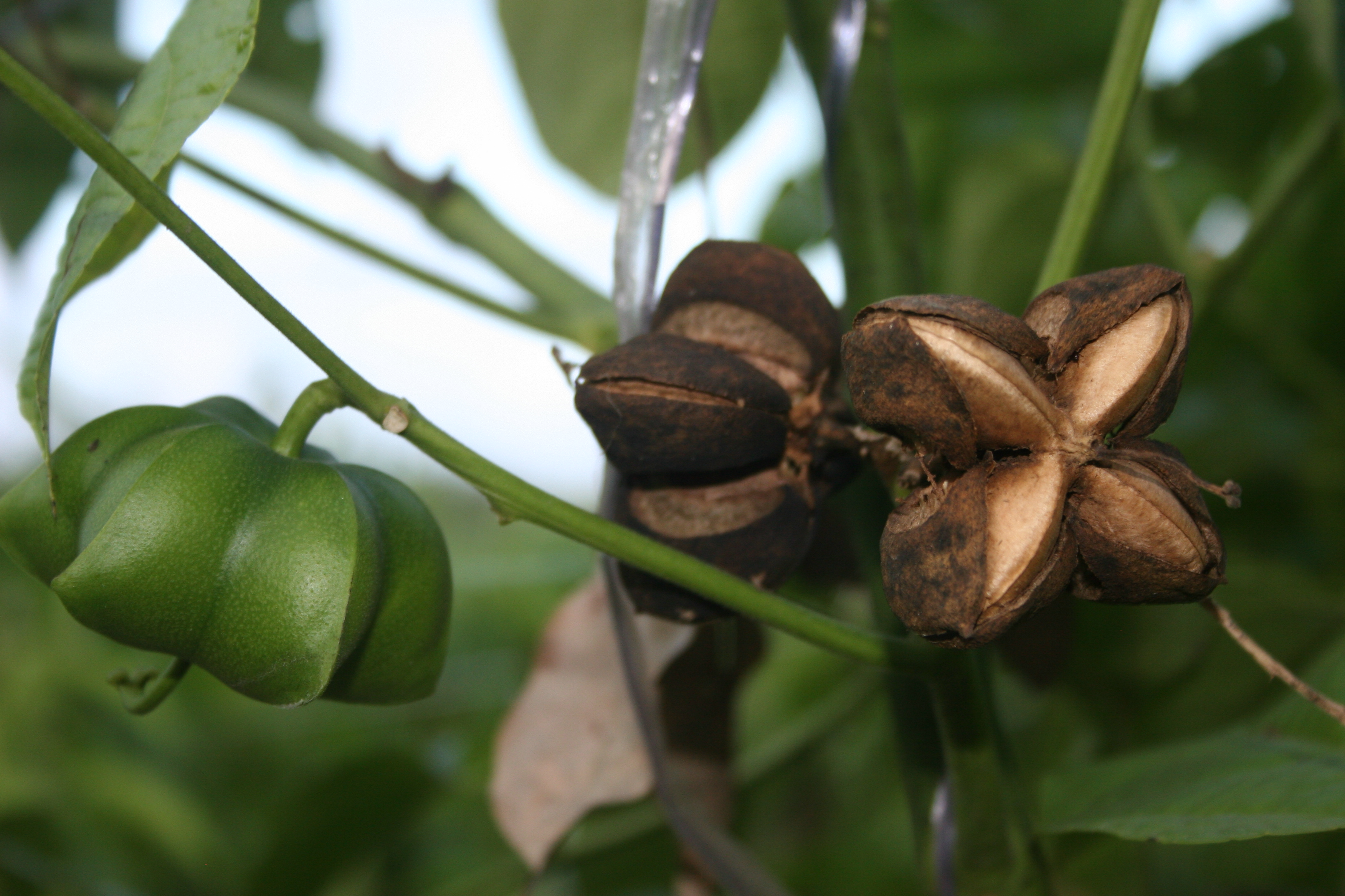Mature Sacha Inchi Fruit