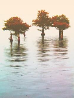 cyprus trees11