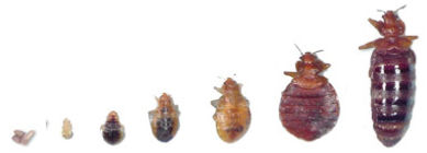 Bed Bugs size