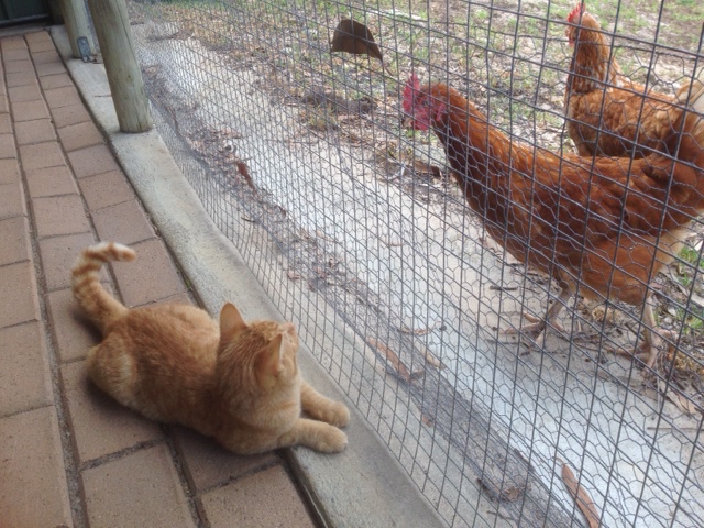 Timmy & the Chooks