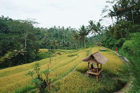 bali-rice-field-ZSRBCKP.jpg
