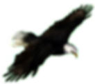 eagle stock .png