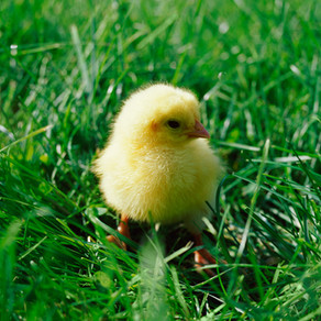 A influência do mercado consumidor na avicultura: o Bem Estar das aves
