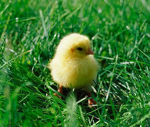 Chick