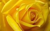 Roses_Closeup_Macro_Yellow_524595_3840x2