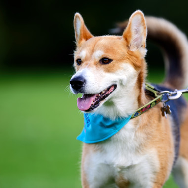 Beagle x husky BIG Walkies Norwich 2016-1.jpg