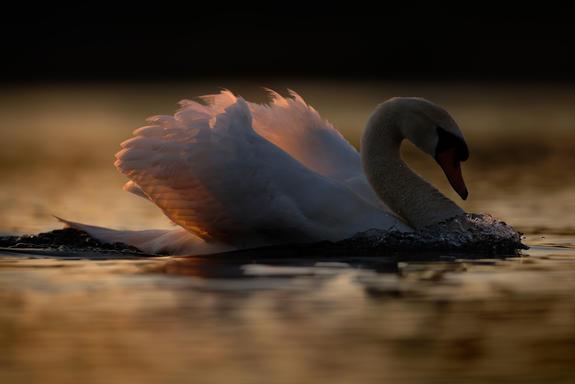 Swan tba-2.jpg