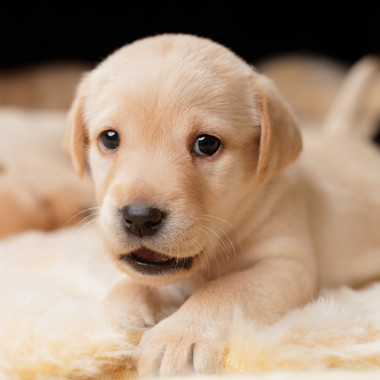 Lab Puppy Portraits at PACT Sept 2018.jp