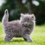 Grey kitten env portrait.jpg