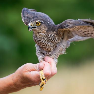 Sparrow Hawk release.jpg